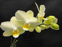 CYS45-2_2015 Newest Green & yellow mini Daily Phalaenopsis orchid in Taiwan