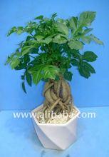 Love Tree Cussonia Bonsai