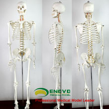 Scientific 170cm Life Size Human Skeleton Teaching Anatomical Model