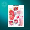 Teaching educational anatomy chart /Kidney medcial wall chart
