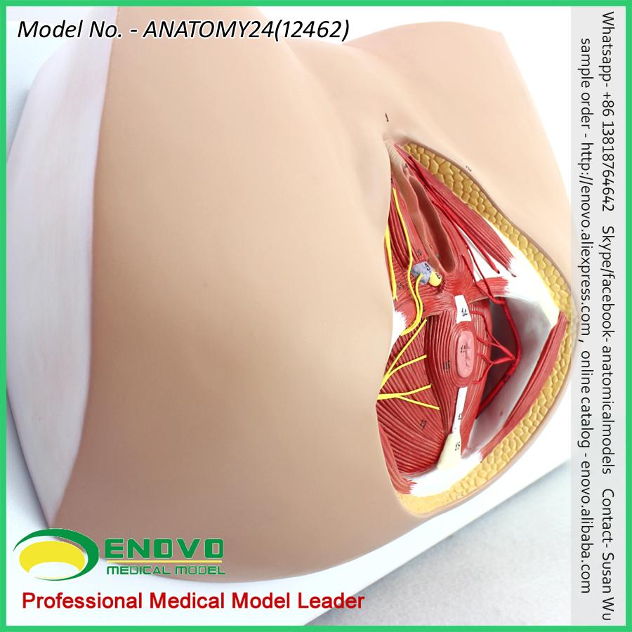 Venta 12462 tamaño de la vida anatomía y biología educación perineo ...