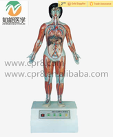 Human cardiac cycle and organs function instrument biology electric model