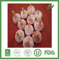 Changsha fresh garlic seeds for sale