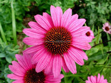 100% Natural Polyphenol 4% Echinacea Purpurea Herb Extract
