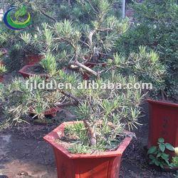 """Beautiful """"S""""-Shaped Podocarpus Bonsai"""