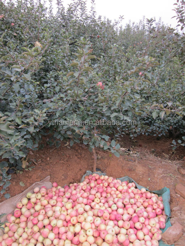 Fuji Apple 2014 Fresh Fruit Pre-sale