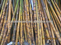 Turtle Shell Bamboo for Home Decoration (Rare Bamboo Species)