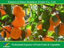 Honey sweet top quality fresh mandarin nanfeng baby mandarin for sale