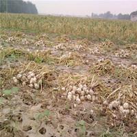 2015 New and Fresh Natural Garlic From Shandong China