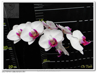 Chi Yueh Yo Yo- white flower with red lip Phalaenopsis medium orchid tissue/ pot plant in Taiwan