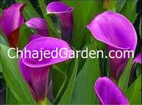 Calla-Lily DEEP-PURPLE Flower Bulbs