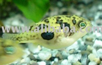Yellow puffer fish for Puffer fish price
