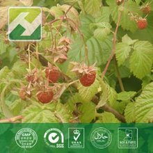 red raspberry extract 98% Raspberry Ketones