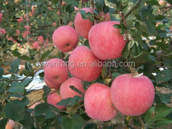 Shandong Wholesale Prices Apple Fresh Fuji Apple