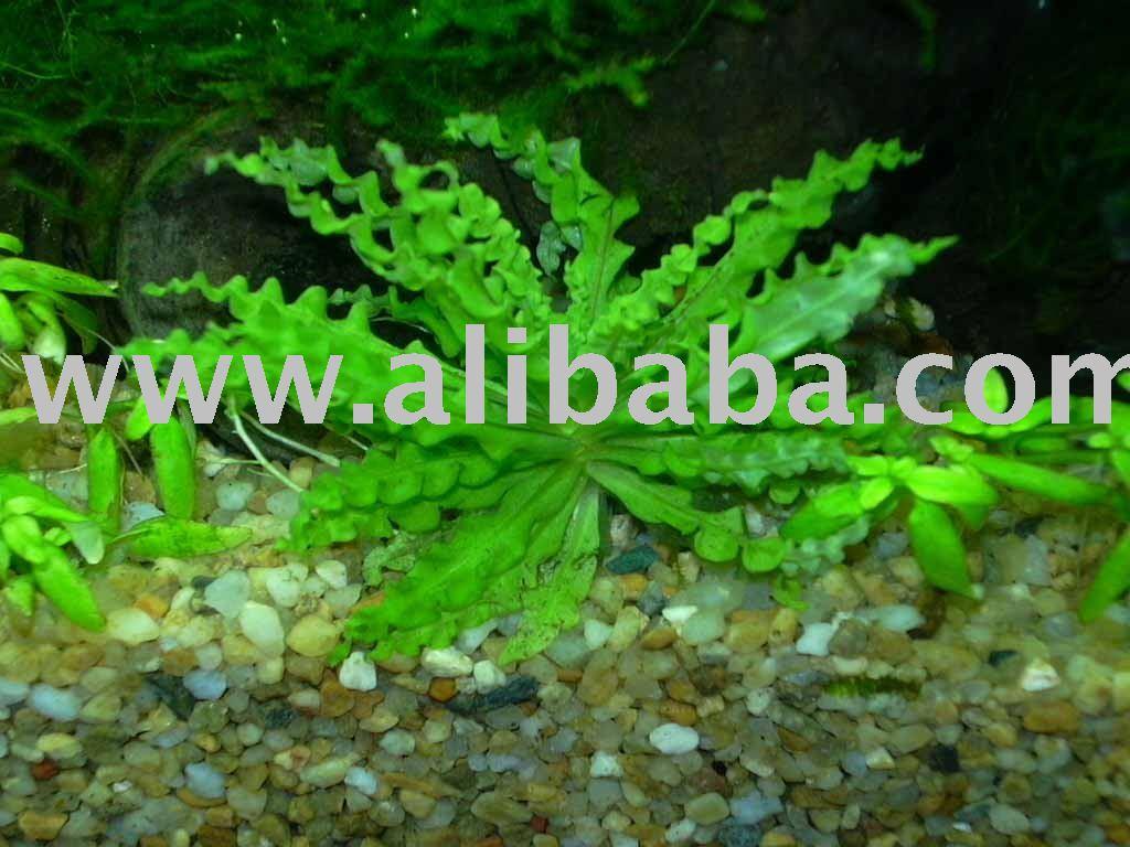 Pogostemon Helferi Live Aquarium Plants Aquatic Plants Water Plants ...
