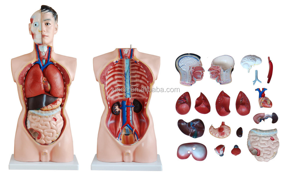 85cm half body male torso model 19 parts mannequin buy torsomale brain lung 4 parts heart trachea esophagus and descending aorta diaphragm stomach duodenum with pancreas and spleen intestines kidney ccuart Images