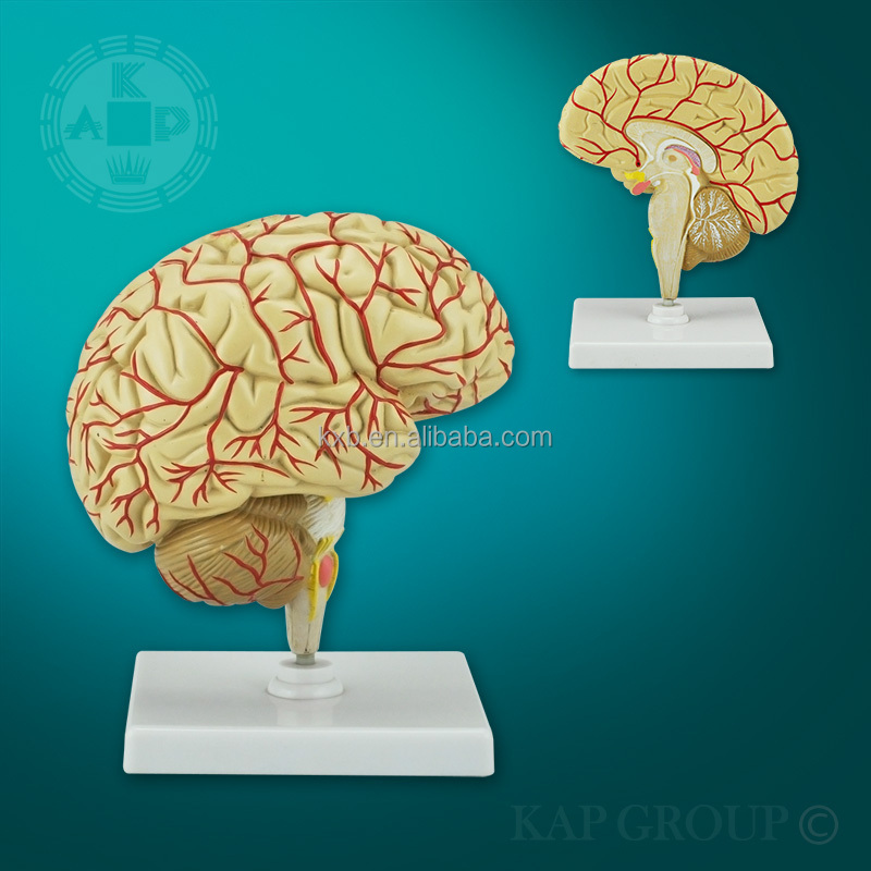 Hot Selling Excellent Quality Human Brain Teaching Modelbrain Cross