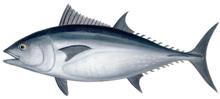 Fresh Tuna (Bluefin, Yellowfin, Bigeye)