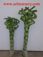 Lucky bamboo Dracaena Sanderiana Spiral bamboo