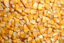 Feed Yellow corn FOB port Odessa Ukraine