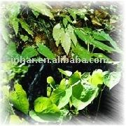 Honey Goat Weed Pure ICARIIN Extract