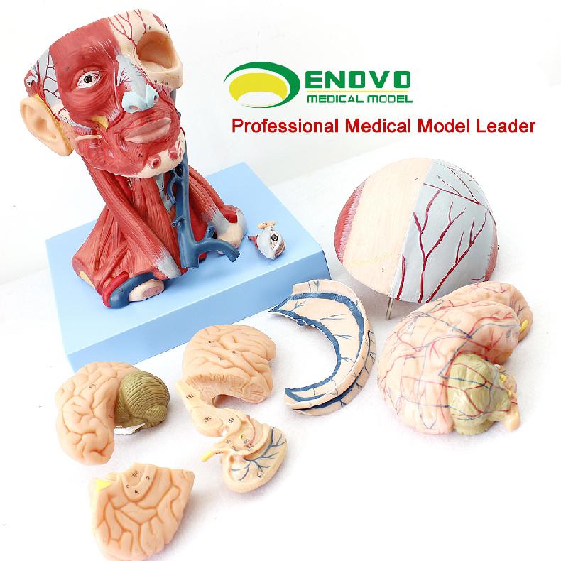 Anatomía muscular 12309 músculos de la cabeza y vasos sanguíneos del ...