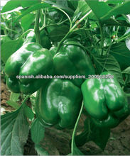 Semillas de hortalizas - verde pimiento semillas f1 Jinli 601