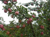 Red delicious apple import from china