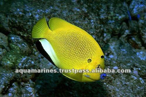 Sri lanka flag fin fish marine fish for sale buy marine for Live saltwater fish for sale
