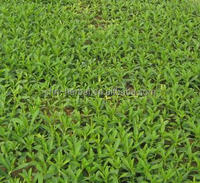 Steviol glycosiddes/stevia steviosid/bulk pure stevia extract
