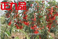 Goji berry 2015' crop BRC, ISO22000, ISO9000