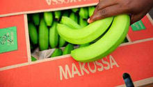 Fresh Makossa green cavendish banana