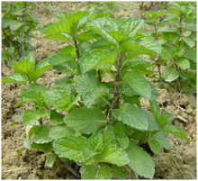 hot sale herb extract