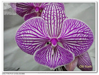 Peace- Mauve Stripes& lip Phalaenopsis large orchid tissue/ pot plant in Taiwan