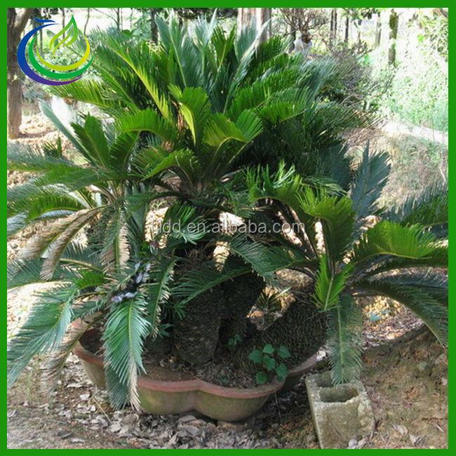 Cycas Revoluta Price Cycas Revoluta Bonsai Tree
