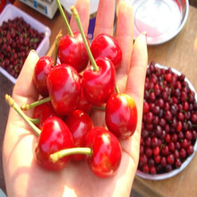 2015 Wholesale cherry fruit dried fruit for sale canned red cherry tomatos