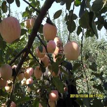 High Quality Fresh Apple