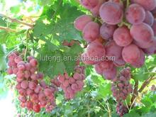 2015 exporter fresh purple grapes for sale