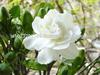 /p-detail/De-flores-frescas-de-flor-de-jazm%C3%ADn-blanco-fresco-de-flores-de-jazm%C3%ADn-400001353015.html