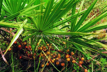 GMP certificated Saw Palmetto Extract 5%-90% Fatty Acids