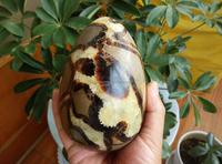 Natural Septarian Dragon Crystal Gem geode Mineral Specimens stone egg