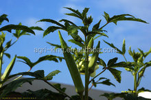 Chinese new prices IQF & Frozen okra buyers