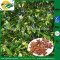 hierba de illicium verum anís de estrella para uso culinario el uso de medicamentos