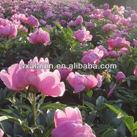 Chinese herb extract Chinese herbaceous peony with Total glucosides of paeonia