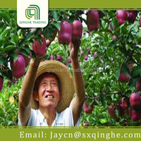 chinese Huaniu apple fruit for sale