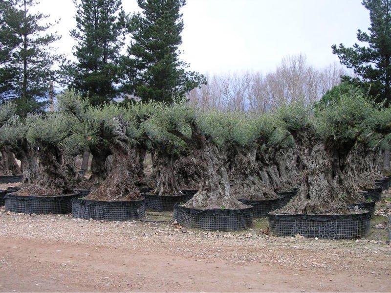 Albero di ulivo piante boscose id prodotto 130869274 for Vendita piante ulivo