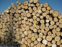 yellow birch logs for sale