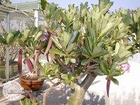 Adenium Arabicum Seeds