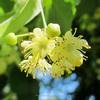 Linden Blossom Oil (Tilia Vulgaris)