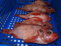 SEAFROZEN RED FISH